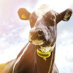 система наблюдения стада / для коров / состояния здоровья