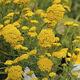 годовое цветочное растение / желтое / для сада / устойчивое к оленям