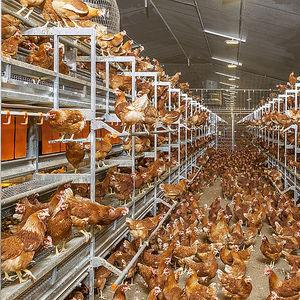 вольерная система содержания птицы наседка