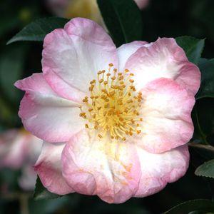 многолетние цветочные растения