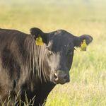 бирка для ушей для крупного рогатого скота