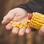 ранний семена кукурузы