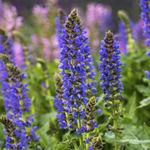 многолетнее цветочное растение