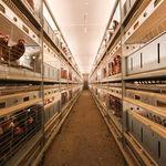 вольерная система содержания птицы для кур / многоступенчатая