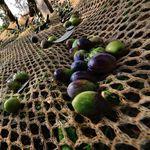 сетка для сбора оливок