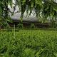 многолетнее зеленое растение / для горшков / для сада